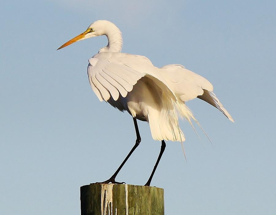 Great White Egret Photograph - Beautiful Great White Egret by Paulette Thomas