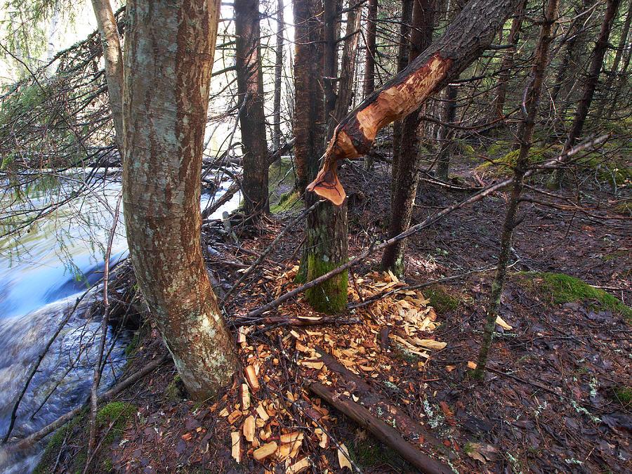 Nature Photograph - Beaver Marks by Jouko Lehto
