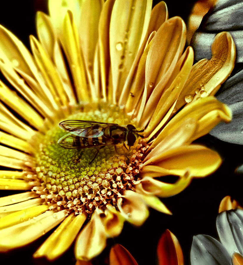 Animal Photograph - Bee by Kelly Rader