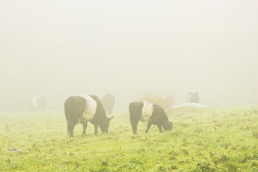 Cow Photograph - Belted Galloway Cows Grazing On Foggy Farm Field Maine by Keith Webber Jr
