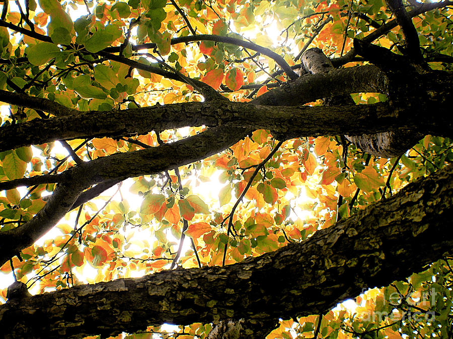 Apple Tree Photograph - Beneath The Autumn Wolf River Apple Tree by Angie Rea