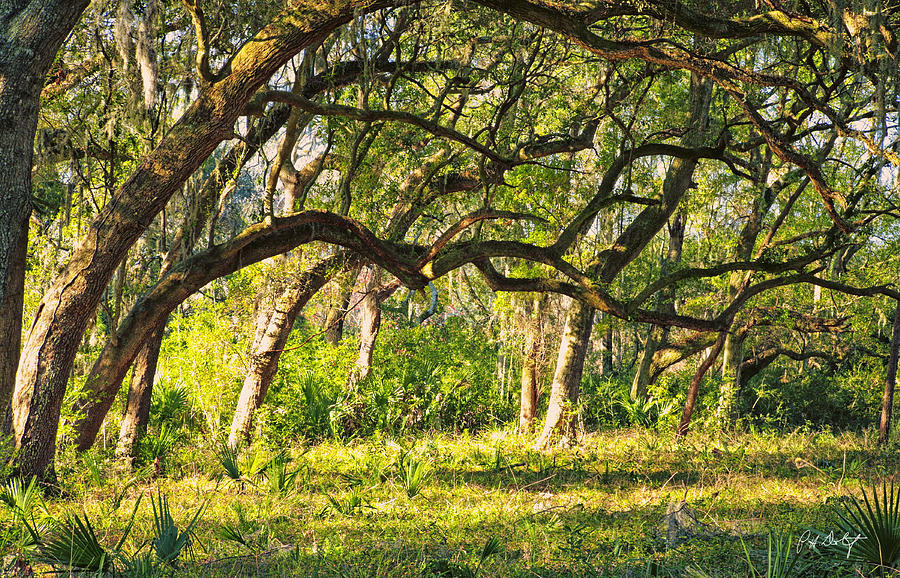 Beaufort County Photograph - Bent Trees by Phill Doherty