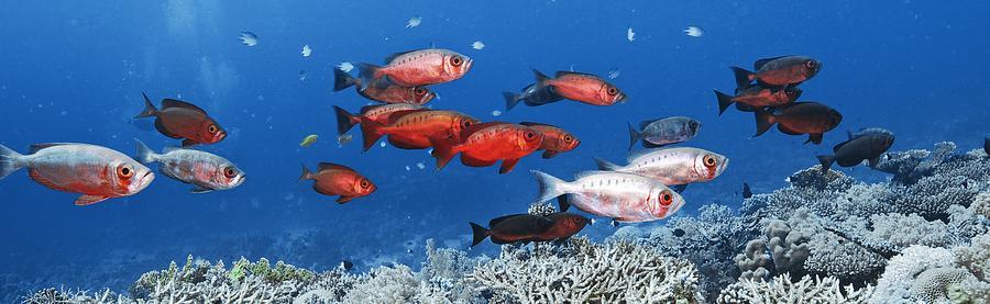 Priacanthus Photograph - Bigeye Fish by Alexander Semenov