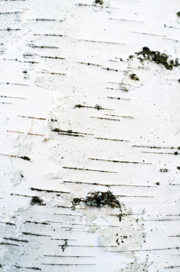 Birch Bark Photograph
