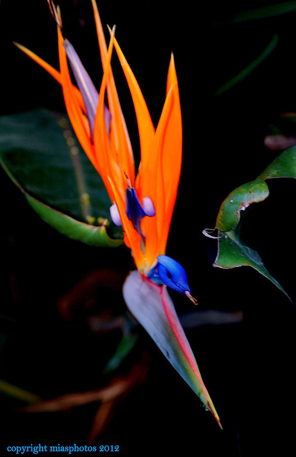 Bird of Paradise Flower by Mia Alexander