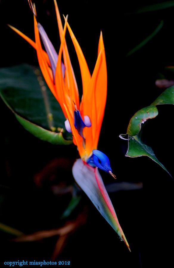 Bird of Paradise Flower by Mia Alexander