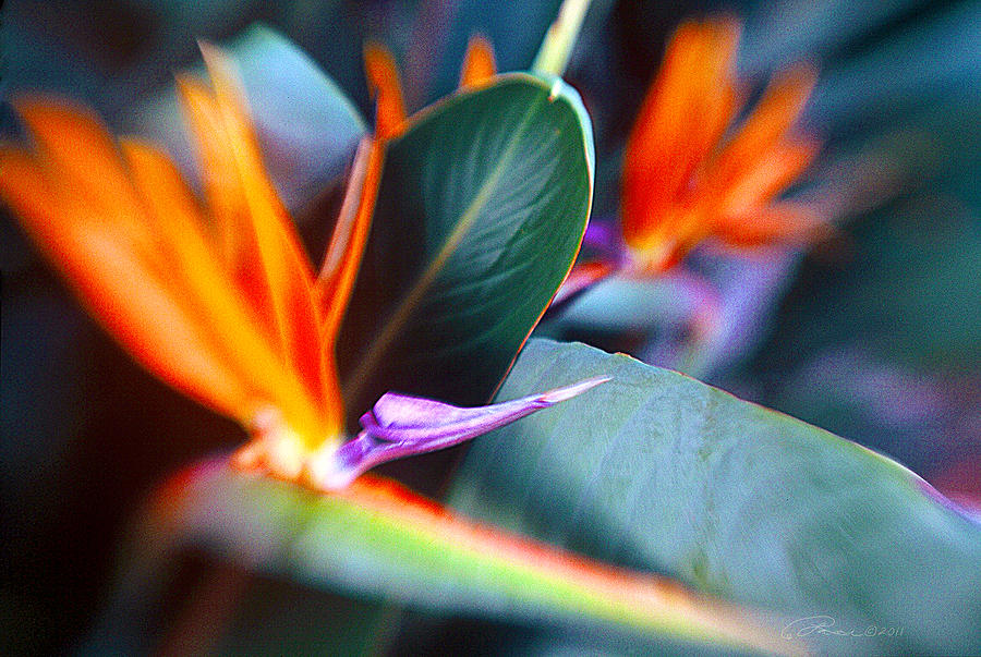 Flower Photograph - Bird Of Paradise by La Rae  Roberts