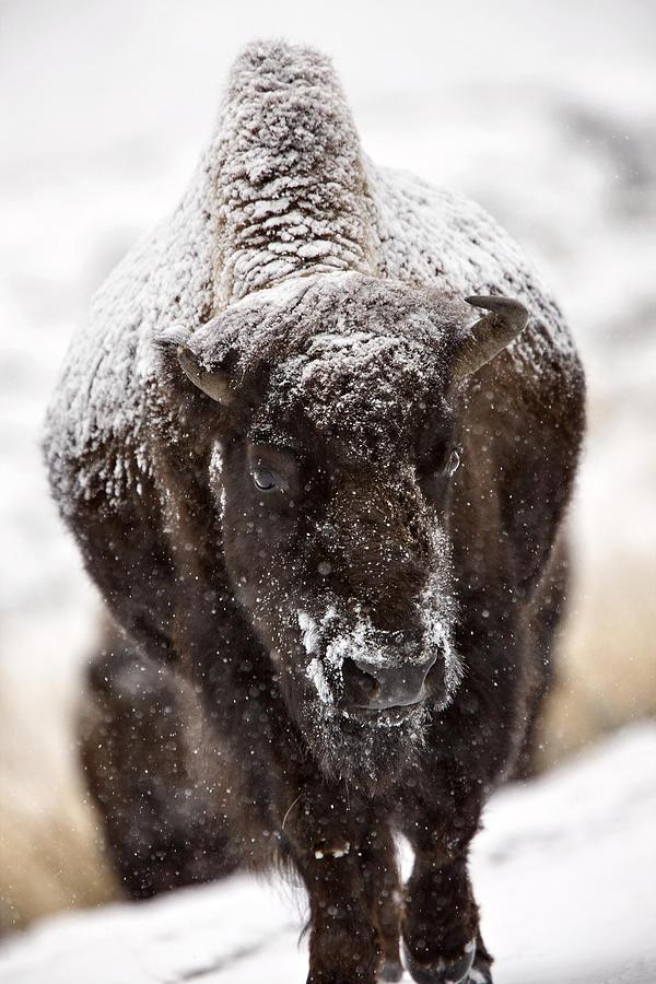 Wildlife Digital Art - Bison Buffalo Wyoming Yellowstone by Mark Duffy