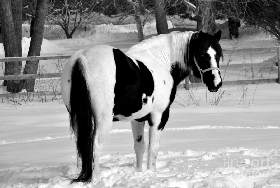 Black And White Horse Photograph By Loriannah Hespe
