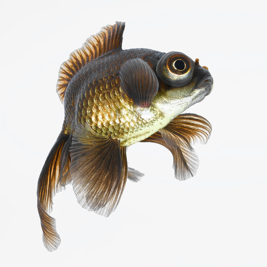Black moor goldfish carassius auratus photograph by don for Black and gold koi fish