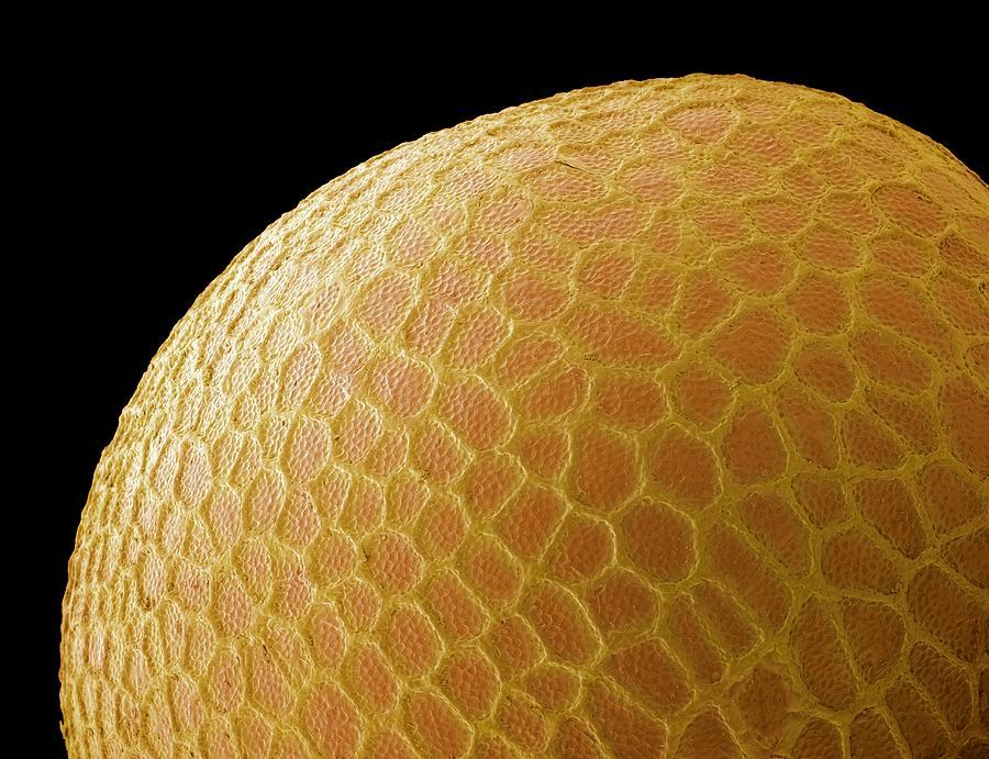Black Mustard Seed Photograph - Black Mustard Seed, Sem by Steve Gschmeissner