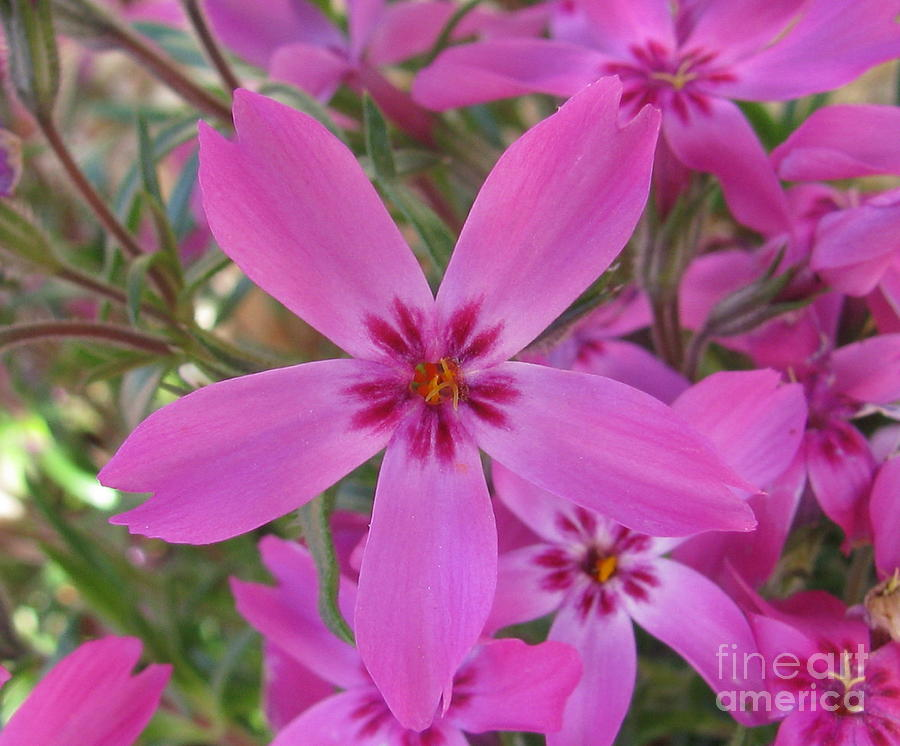 Flower Photograph - Blissful by Tina Marie