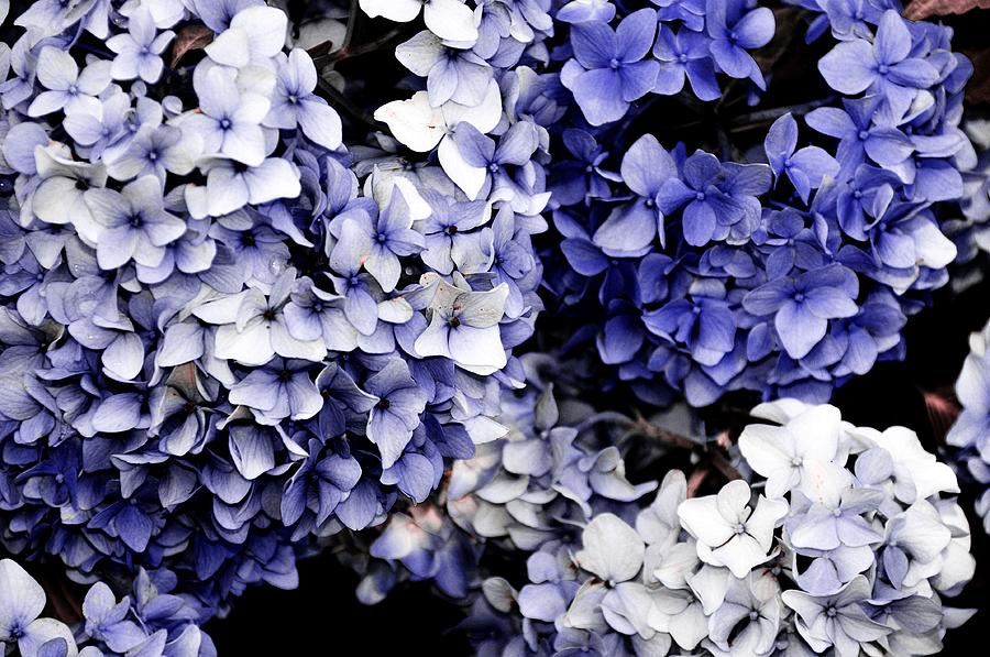 Hydrangea Photograph - Blue Bloom Cluster  by JAMART Photography