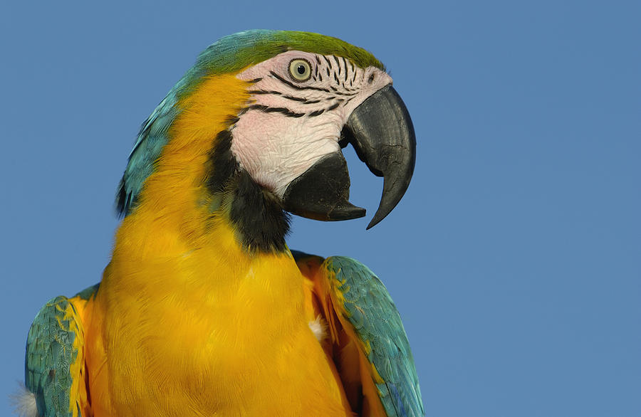 Mp Photograph - Blue And Yellow Macaw Ara Ararauna by Pete Oxford