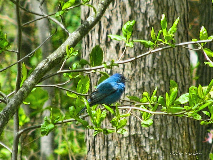 Blue Bird Of Happiness Photograph - Blue Bird Of Happiness  by Debra     Vatalaro