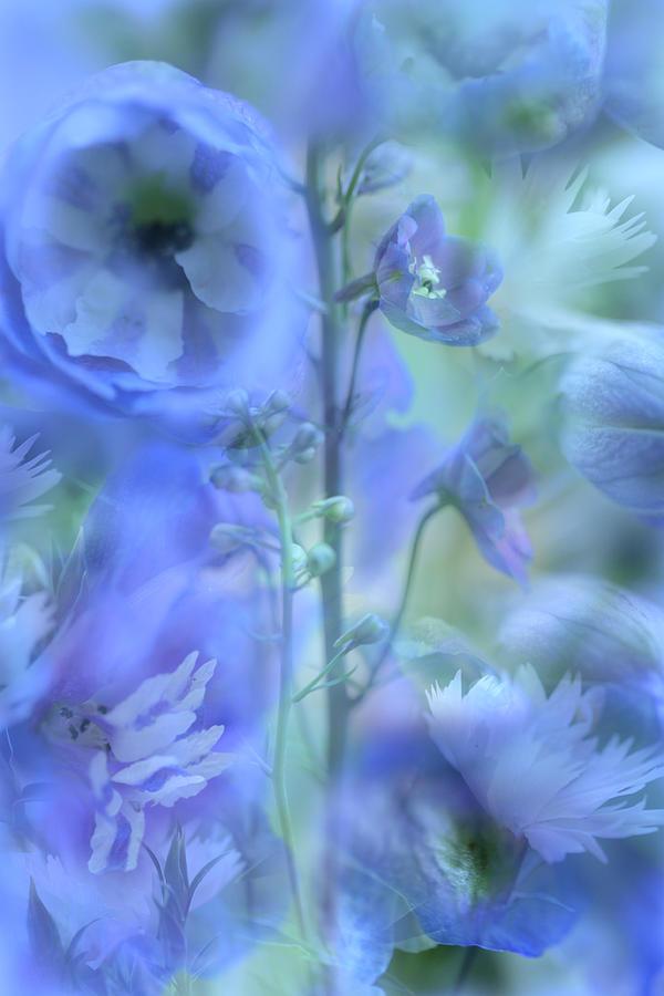 Photo Montage Photograph - Blue Delphinium by Bonnie Bruno