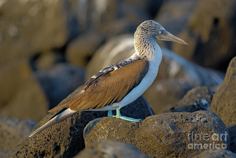 Uncertainty Photograph - Blue-footed Booby  by Sami Sarkis