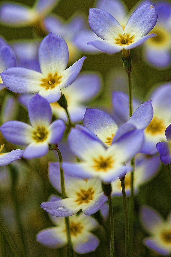 New England Photograph - Blue Quaker Ladies by Thomas J Martin