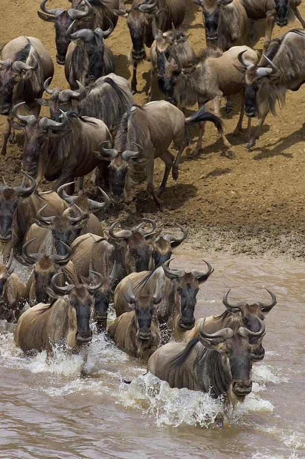 Blue Wildebeest Photograph - Blue Wildebeest Connochaetes Taurinus by Suzi Eszterhas