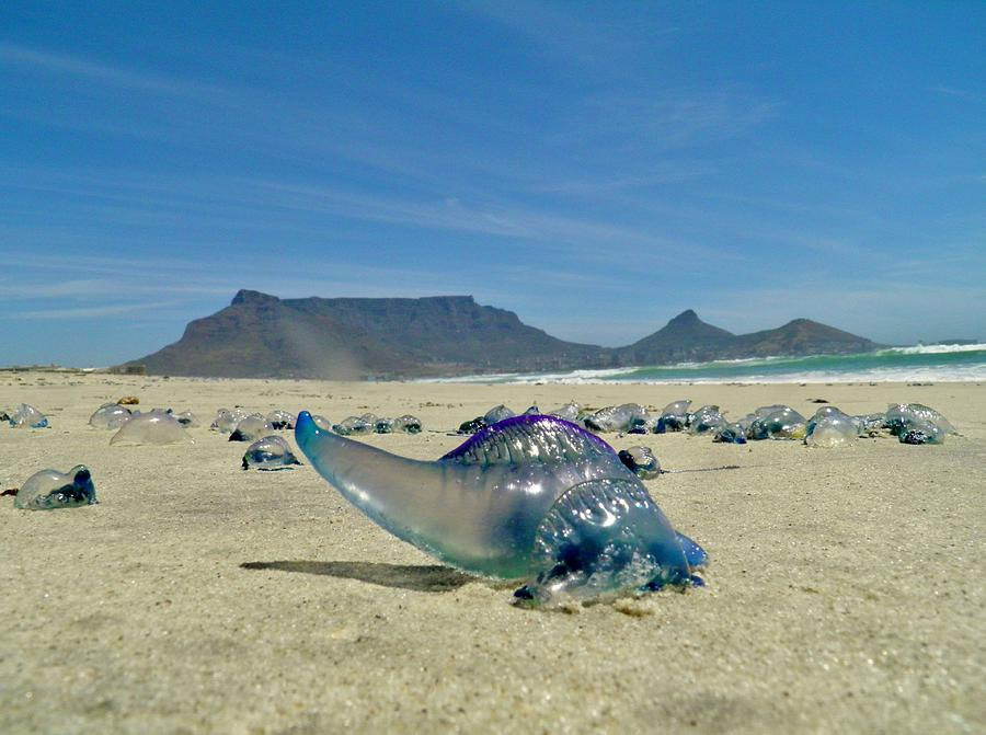Bluebottle Photograph by Werner Lehmann