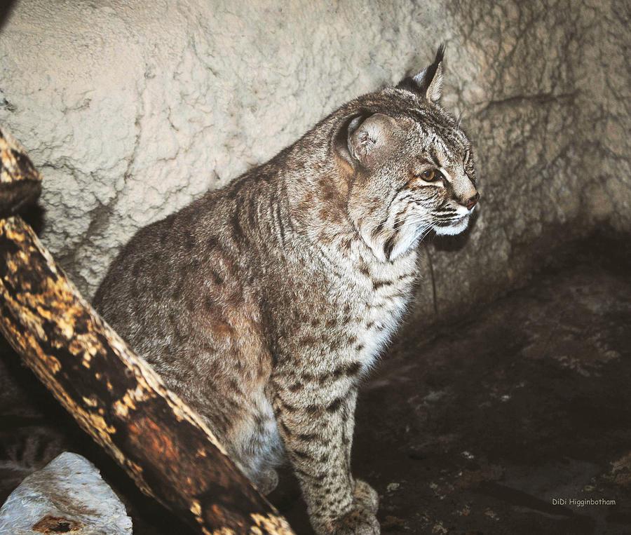 Bobcat Photograph - Bobcat by DiDi Higginbotham