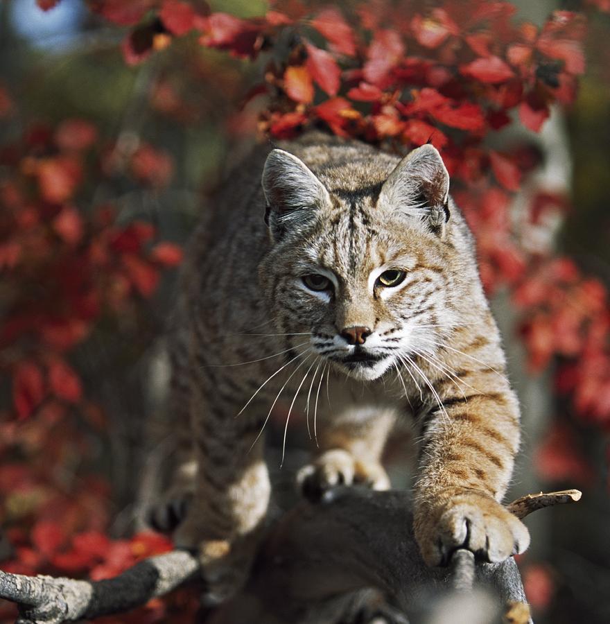 Attacking Photograph - Bobcat Felis Rufus Walks Along Branch by David Ponton