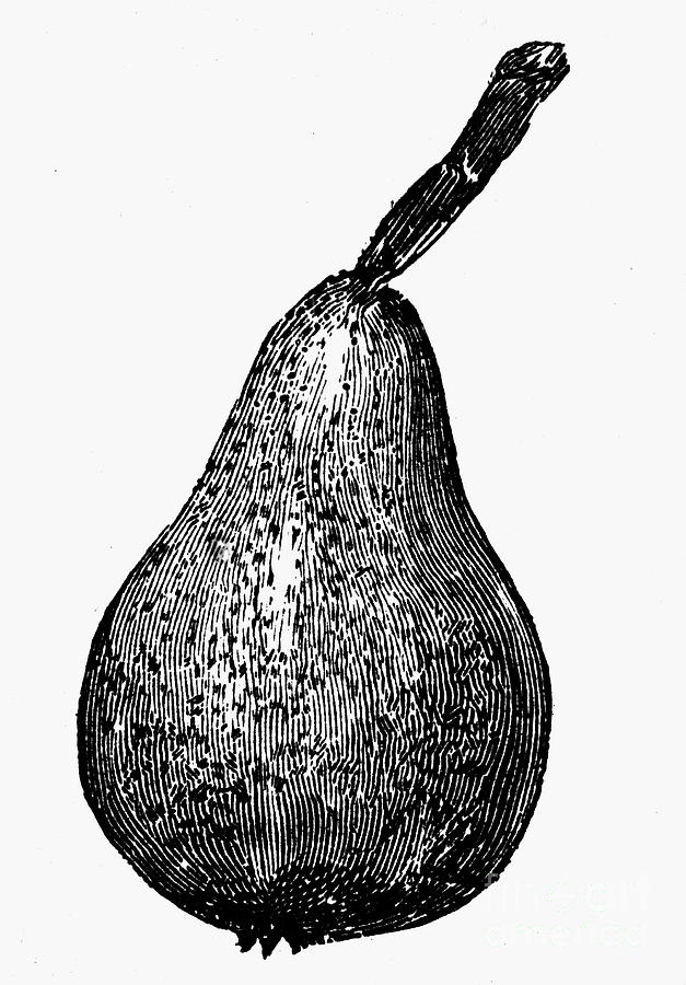 Biology Photograph - Botany: Pear by Granger