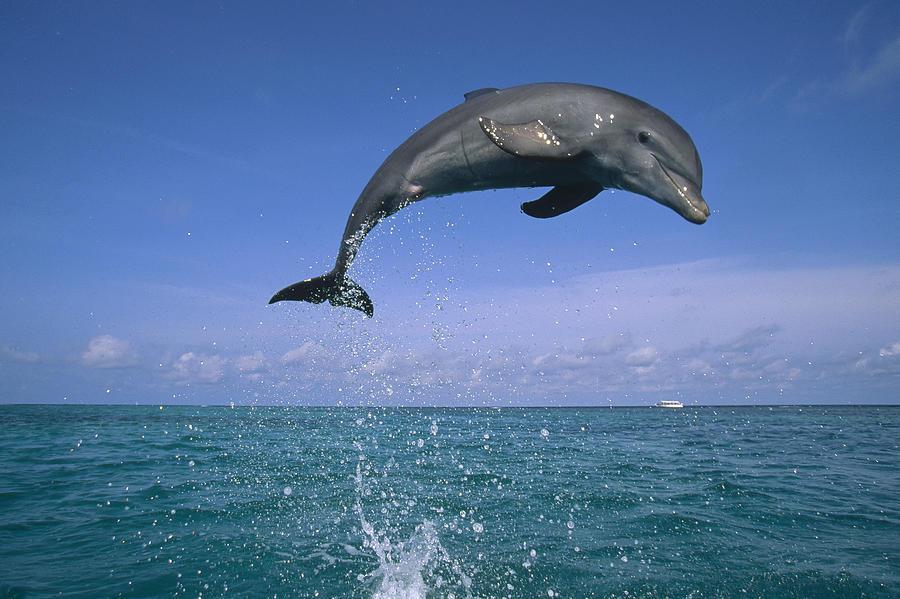 Bottlenose Dolphin Tursiops Truncatus Photograph by Konrad Wothe