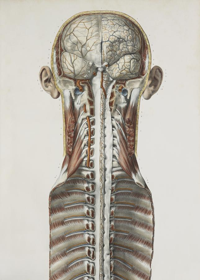 Brain And Spinal Cord, 1844 Artwork Photograph by