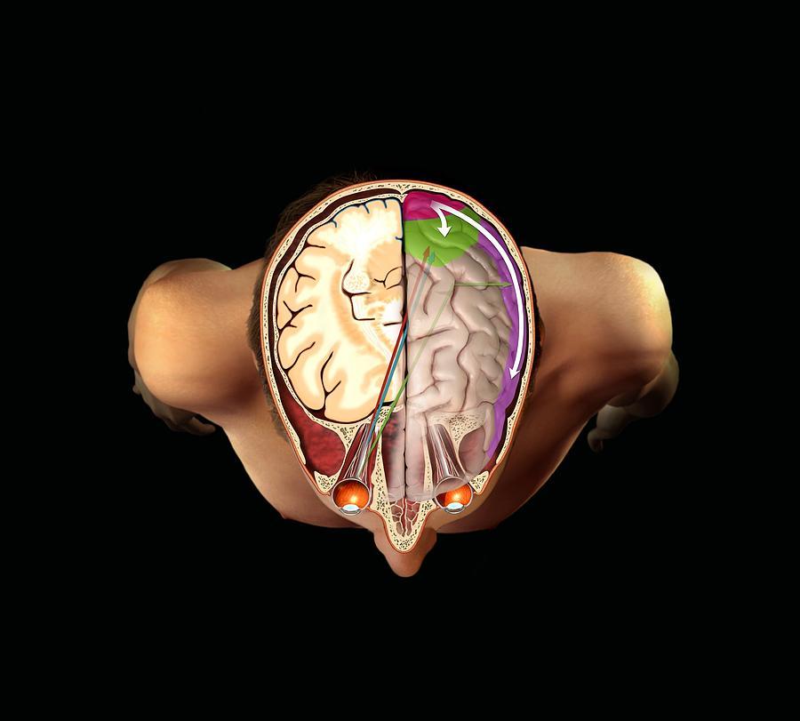 Brain Photograph - Brain And Vision, Artwork by Henning Dalhoff