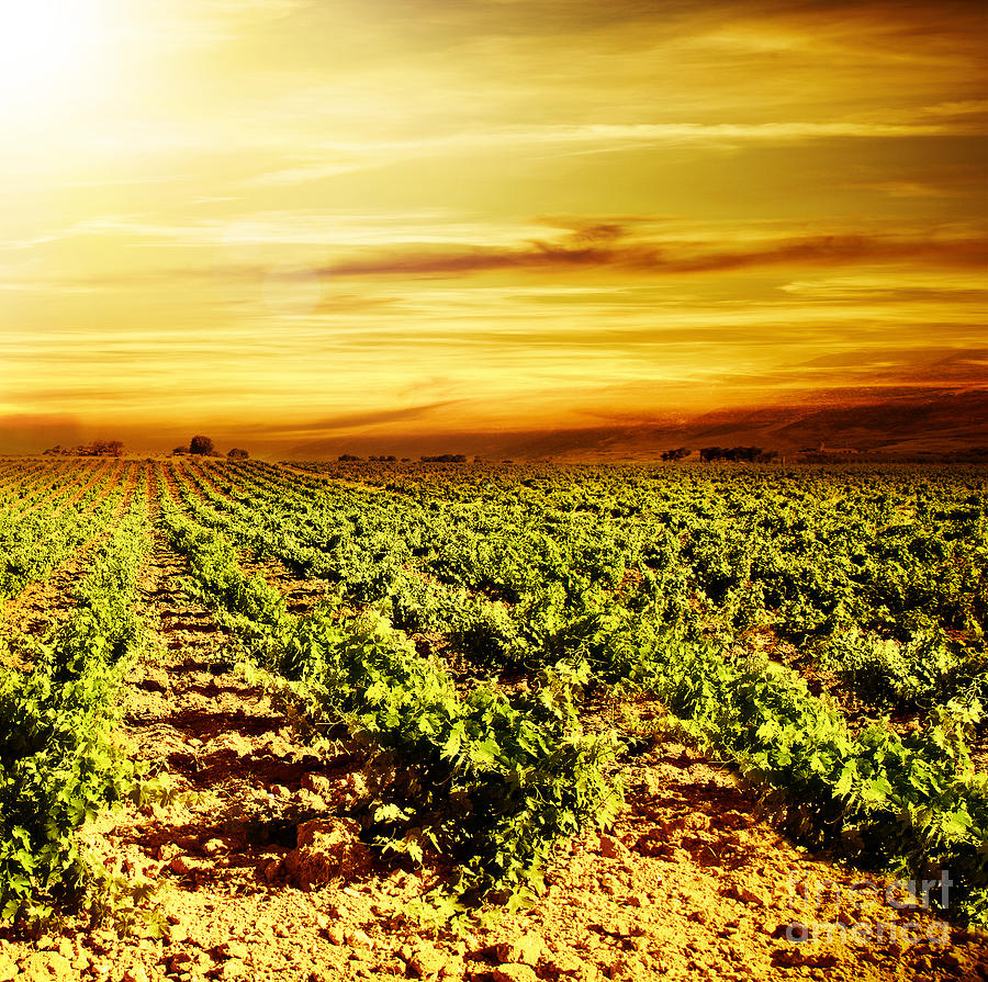Agricultural Photograph - Bright Sunset At Vineyard by Anna Om