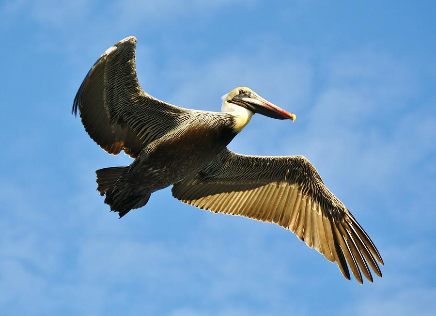 Pelican Photograph - Brown Pelican In Flight by Paulette Thomas