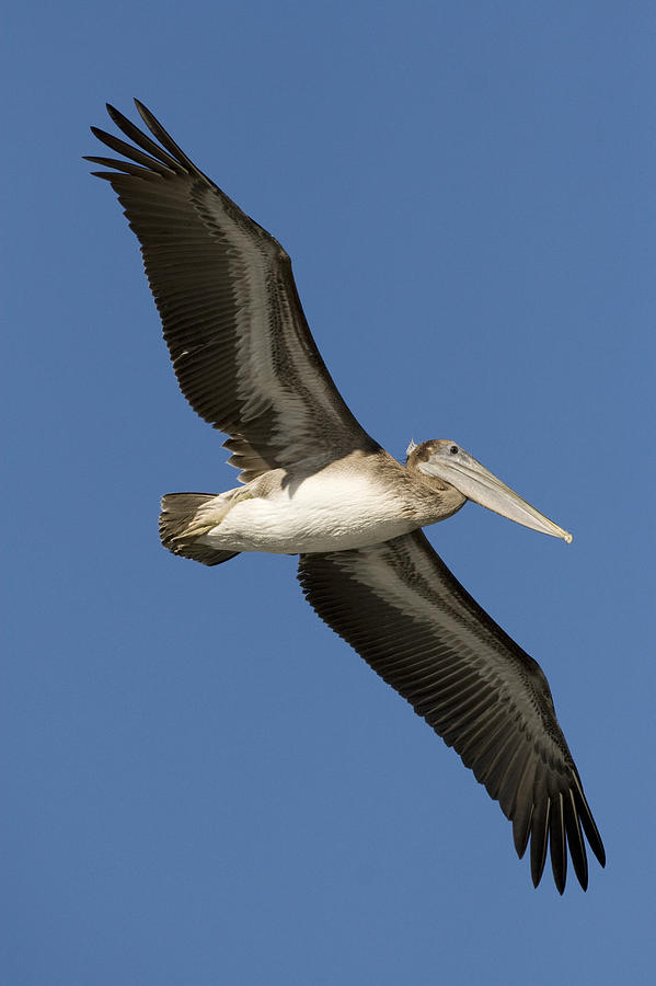 Brown Pelican Juvenile Flying Santa Photograph by Sebastian Kennerknecht
