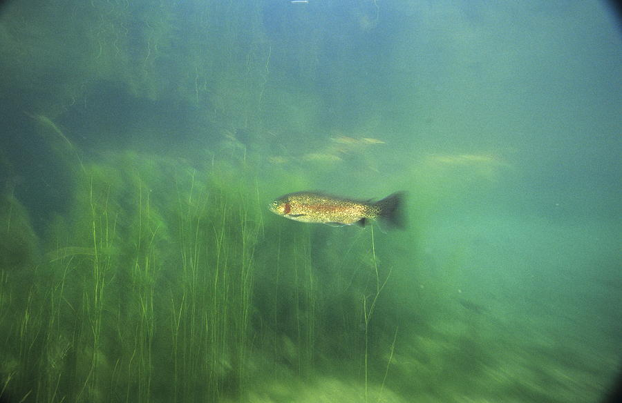 Brown Trout Photograph - Brown Trout by Alexis Rosenfeld