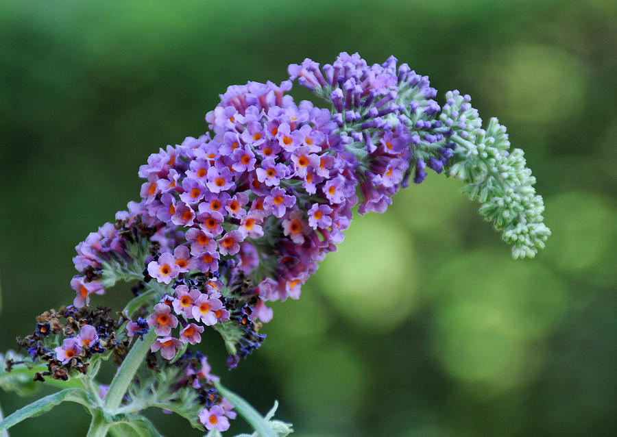 Butterfly Bush Flower Photograph By Geraldine Alexander