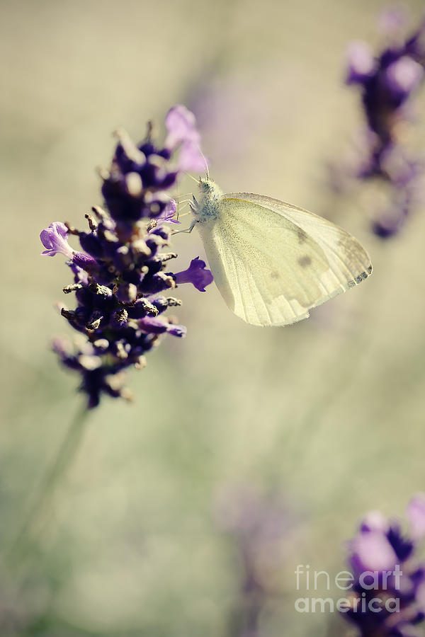 Butterfly Photograph - Butterfly.. by LHJB Photography
