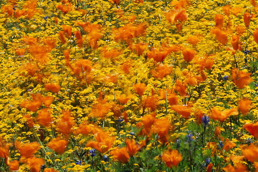 Fields Photograph - California Poppies And Goldfields Dance by Jonathan Blair