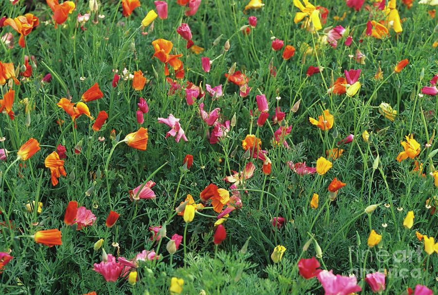 Eschscholzia Californica Photograph - California Poppies by Duncan Smith