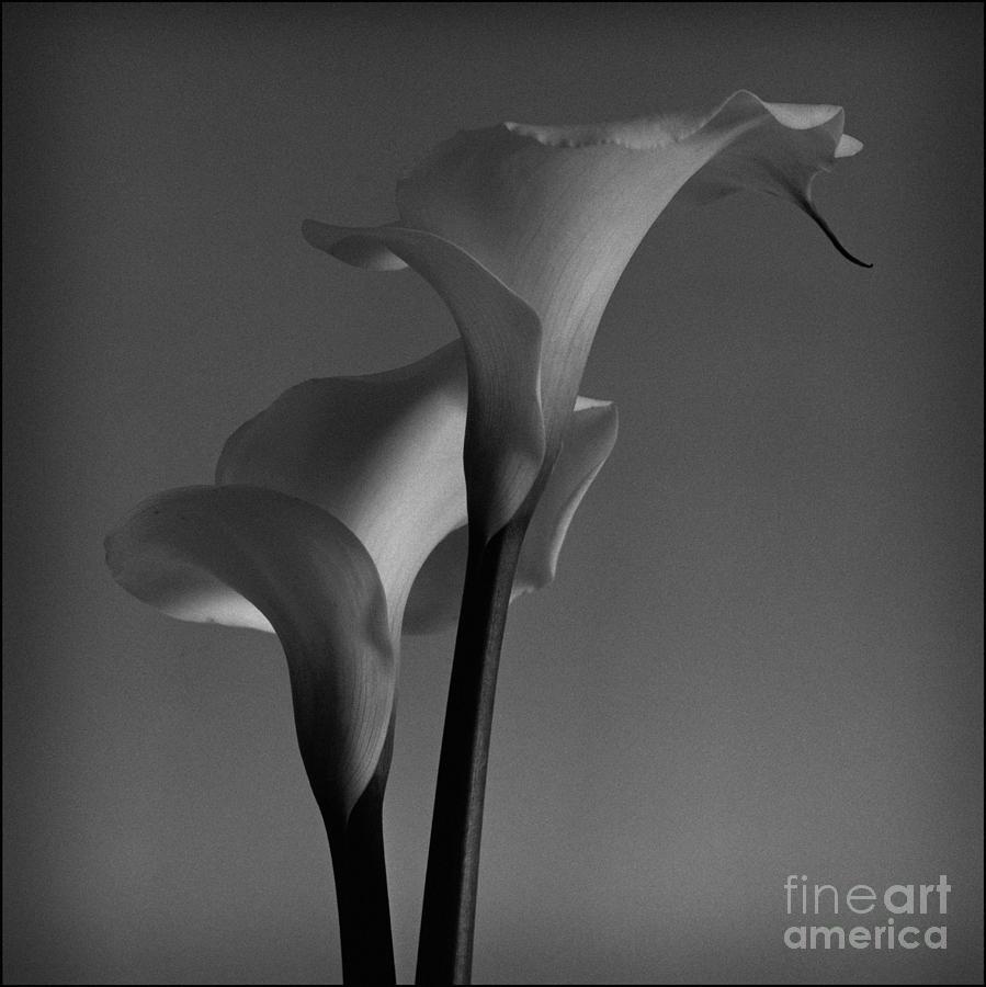 Floral Photograph - Calla Lilies 1 by Aldo Cervato