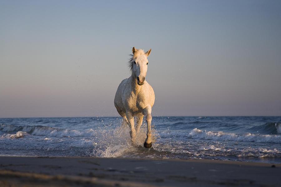 Camargue Horse Equus Caballus Running Photograph by Konrad Wothe