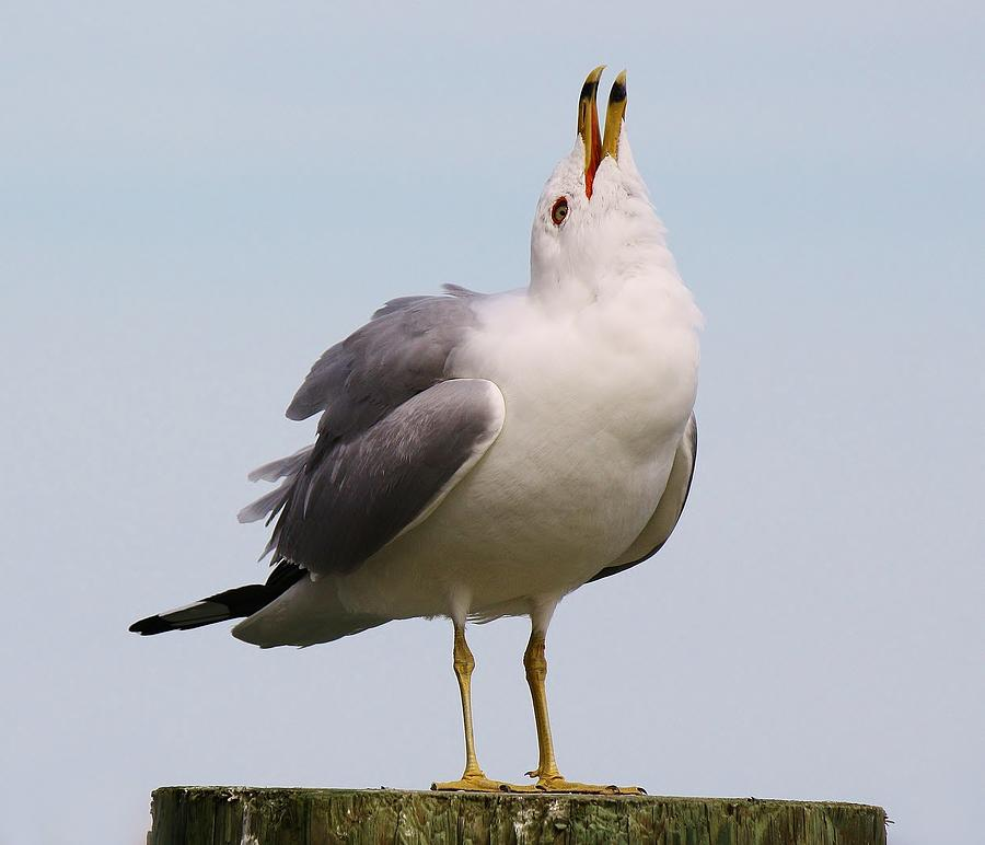 Sea Gull Photograph - Can You Hear Me Now by Paulette Thomas