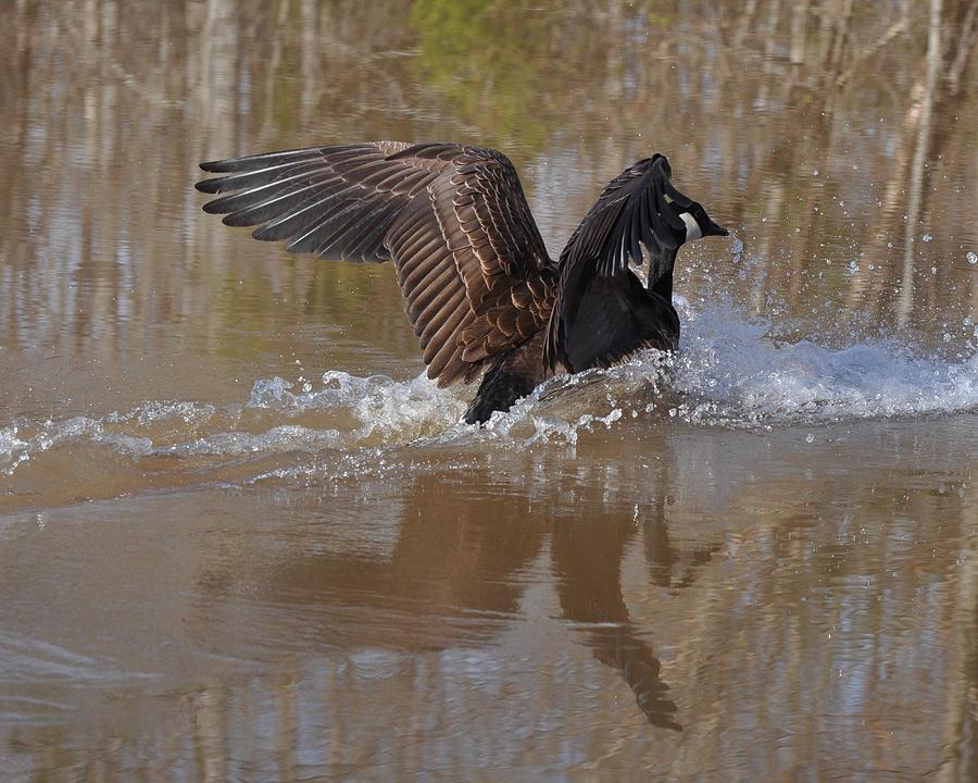 Goose Photograph - Canada Goose Landing C0255a by Paul Lyndon Phillips