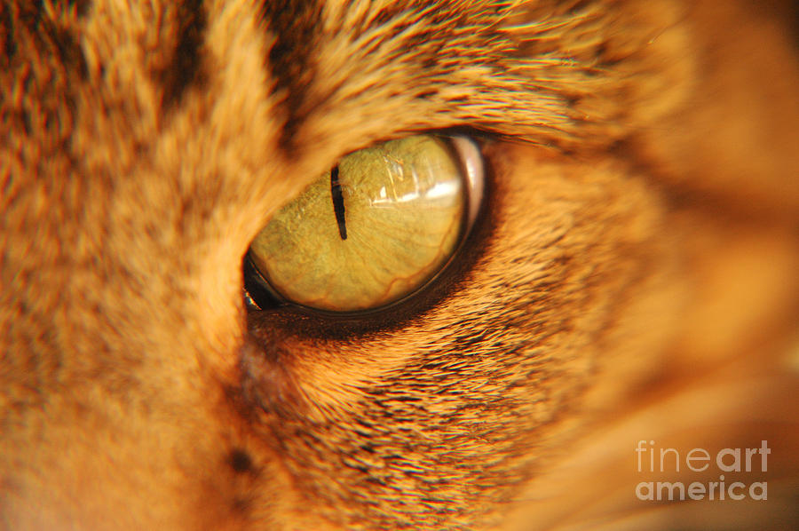 Cat Photograph - Cats Eye by Micah May