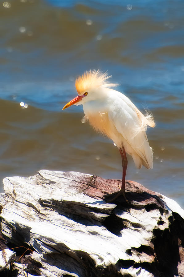 Bird Photograph - Cattle Egret In Breeding Plumage by Rich Leighton