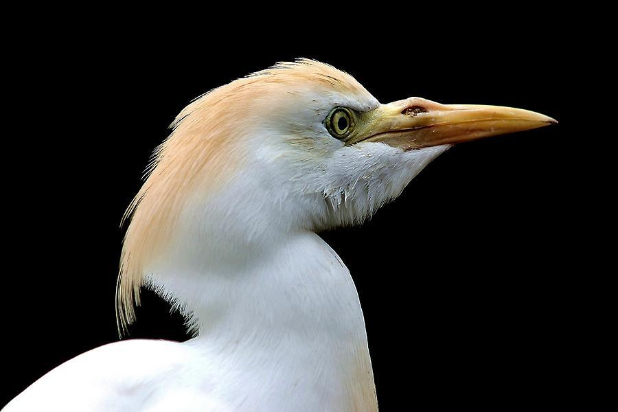 Cattle Egret Photograph - Cattle Egret by Paulette Thomas