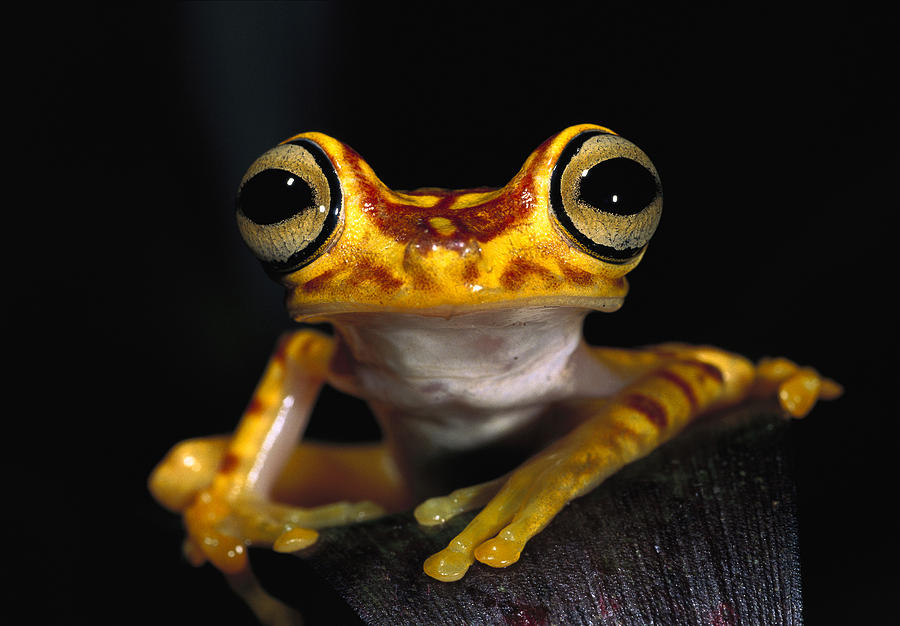 Chachi Tree Frog Hyla Picturata Photograph by Pete Oxford