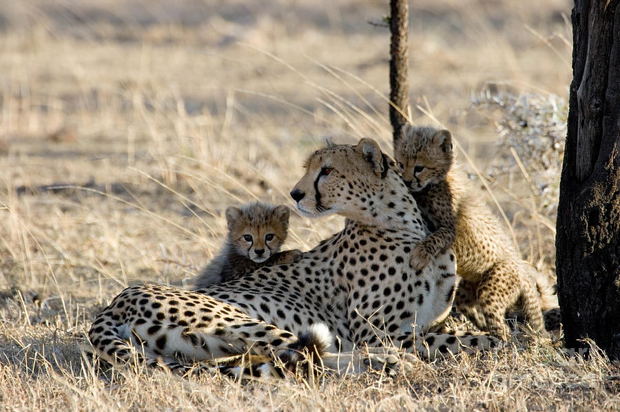 Animal Photograph - Cheetah Mother And Cubs by Gregory G. Dimijian, M.D.