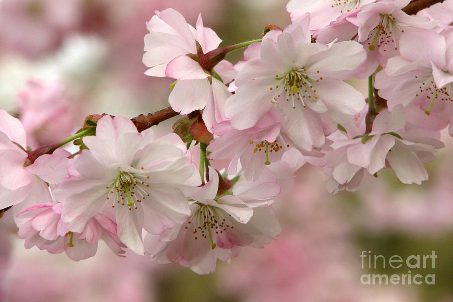 Spring Photograph - Cherry Blossoms by Frank Townsley