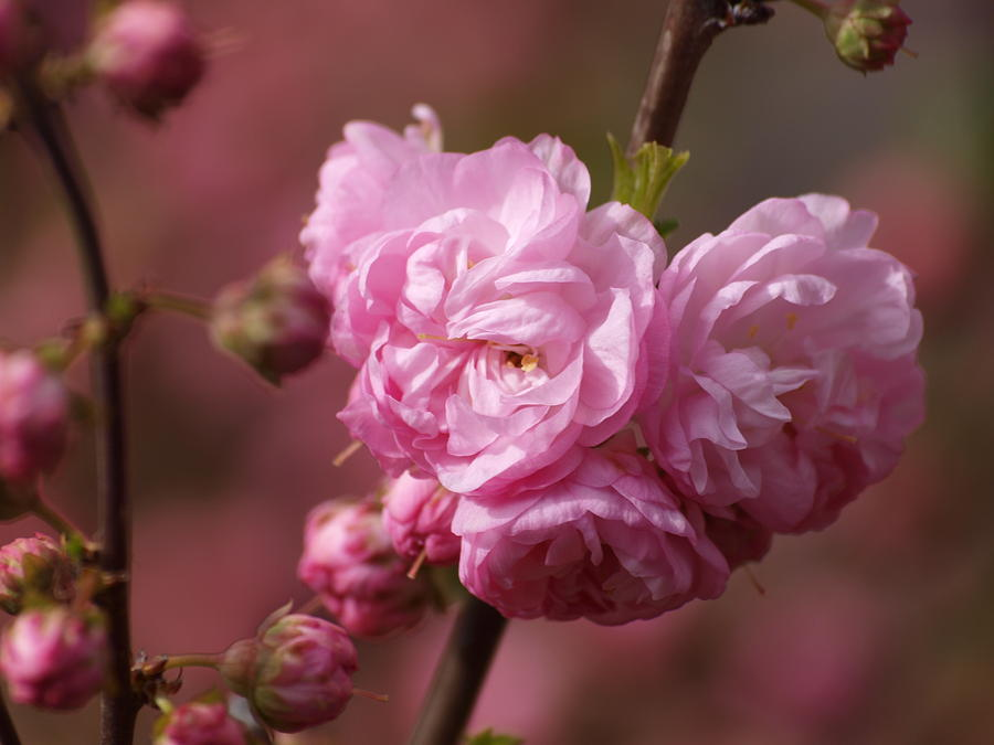 Flowers Photograph - Cherry Blossoms by Philip G