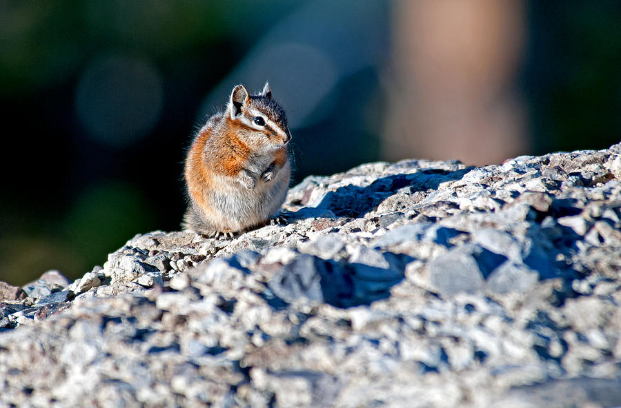 Yellowstone Photograph - Chipmunk by Elijah Weber